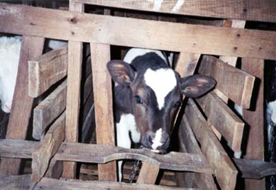 veal – it's what's in your dairy